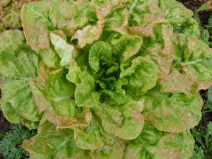 White Seeded Samara Lettuce