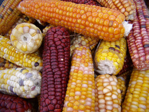 Harmony Grain Corn