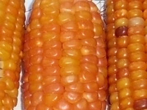 Lofthouse High Carotene Flint Corn