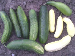 Lofthouse Landrace Cucumber (mostly greens)