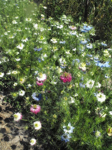 Multicolor Love-in-a-Mist (Nigella)