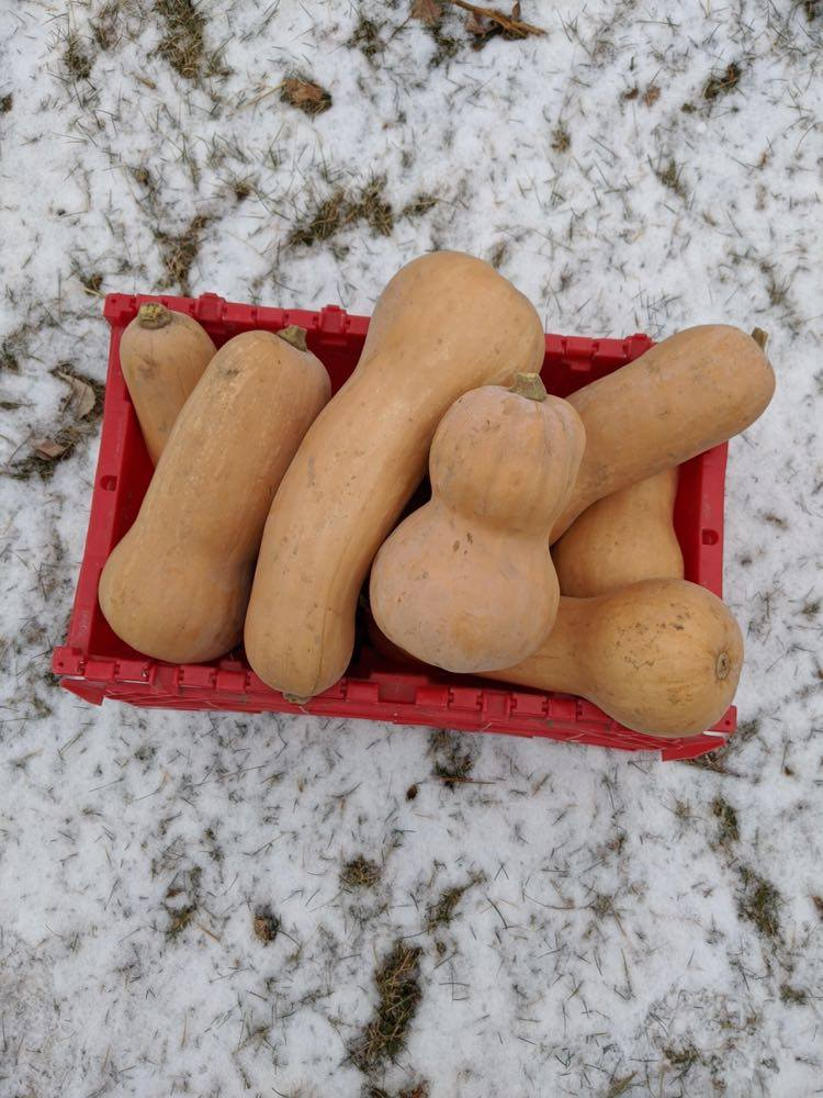 North Circle Butternut