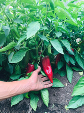 Perfect Sweet Italian Swarm Pepper
