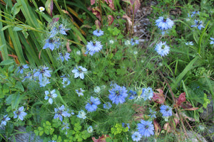 Persian Blue Love-in-a-Mist