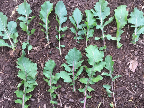 Purple Stemmed Arugula (Colorado Naturalized)