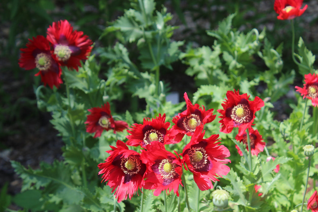 Ragged Red Poppy