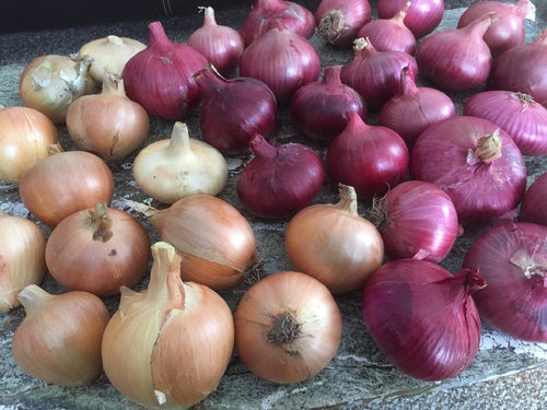 (FARMER BULK) Storage Onion Grex