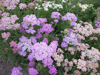 Summer Pastels Yarrow