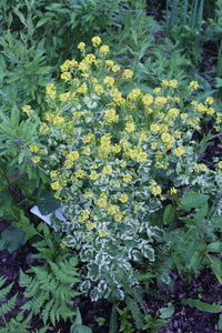 Variegated Wintercress