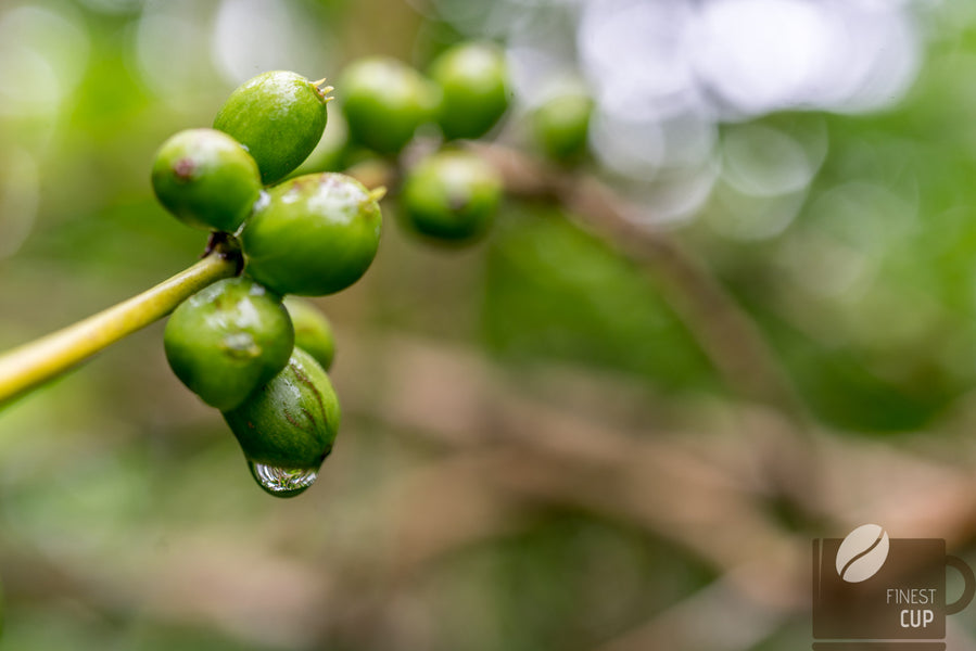 Coffee varieties and their origin