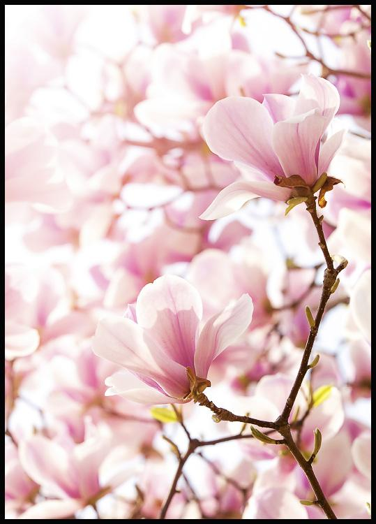 Beautiful photo art poster in color with spring magnolias