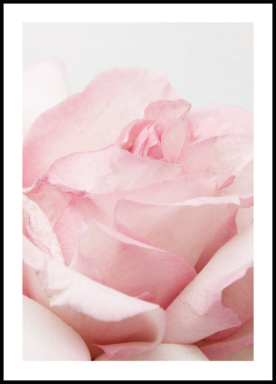 pink rose poster, close up print