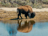 Buffalo Reflection