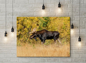 Moose in Autumn