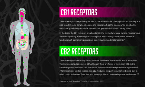 Endocannabinoid System and CB1 and CB2 receptors