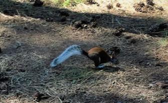 Loping Squirrel