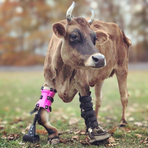 Cow Angular Deformity | Bovine Leg Brace | Animal Ortho Care