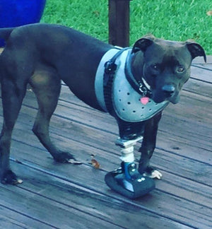 Dog Leg Prosthetic - Full Limb