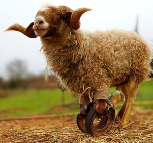 Sheep Goat Angular Deformity_ Able Bodied Prosthetic_Animal Ortho Care