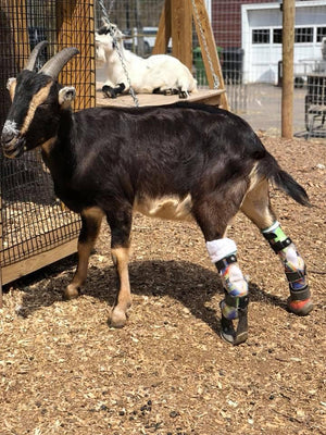 Farm Animal Custom Leg Prosthetic - Animal Ortho Care