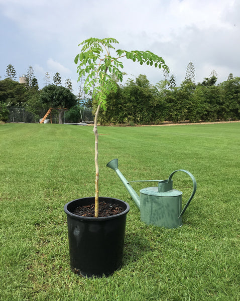 Large Moringa Seedling