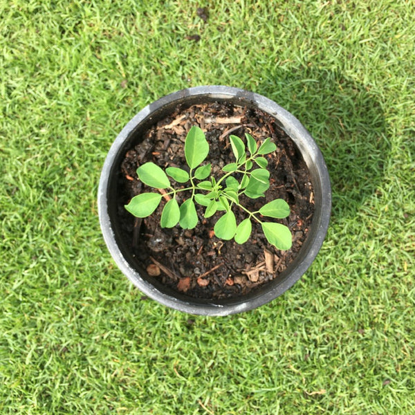 Small Moringa Seedling