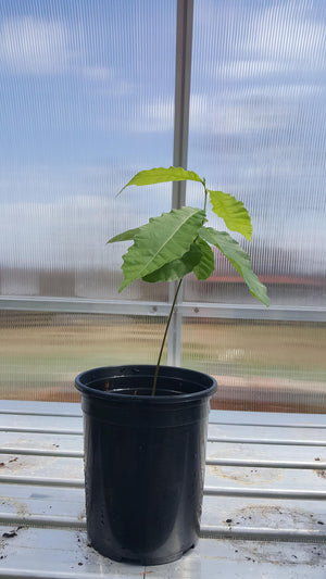 Chestnut Seedling Tree - Deposit