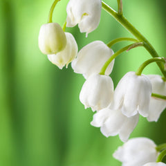 Lily of the Valley an enduringly romantic and wild bloom