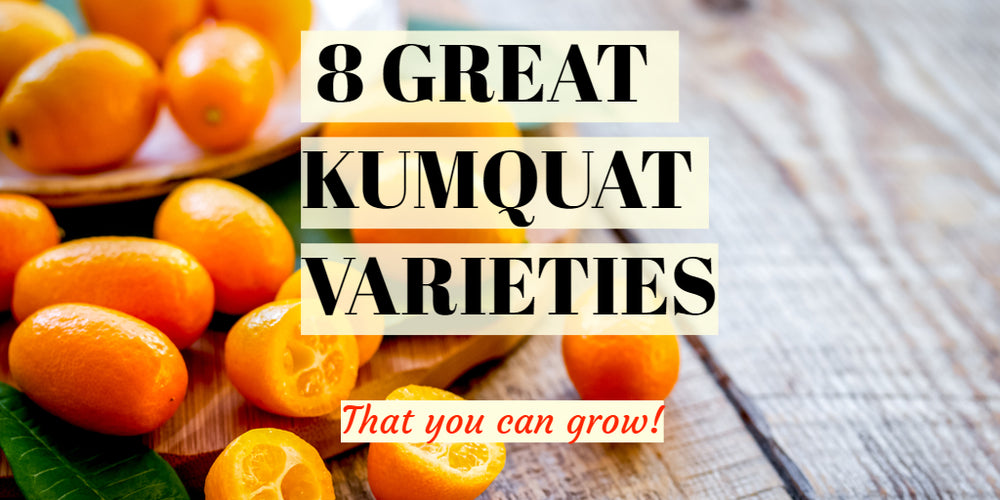 8 Great Kumquat Varieties Featured