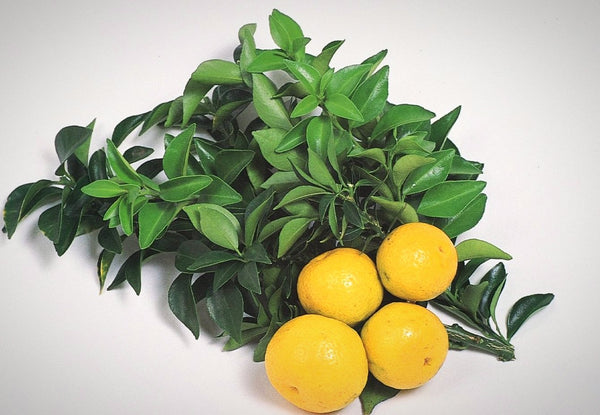 Chinotto Sour Orange Semi-Dwarf Tree