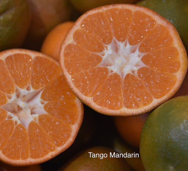 Tango Semi-Dwarf Mandarin Tree (Patented)