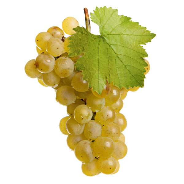 Chardonnay Wine Grape Vine- (SOLD OUT)