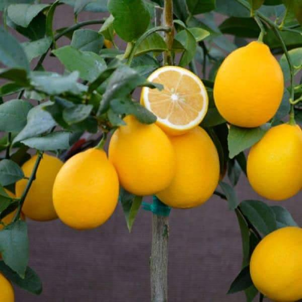Improved Meyer Semi Dwarf Lemon Tree For Sale Four Winds Growers