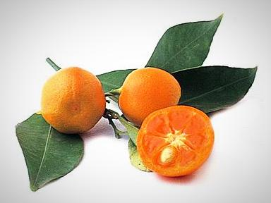 Calamondin/ Calamansi Tree