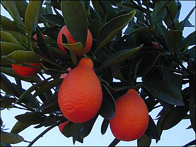 Indio Mandarinquat Semi-Dwarf Kumquat Tree