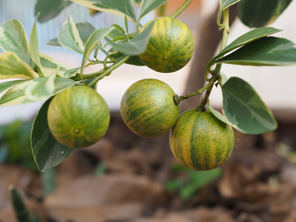 Variegated Calamondin Tree
