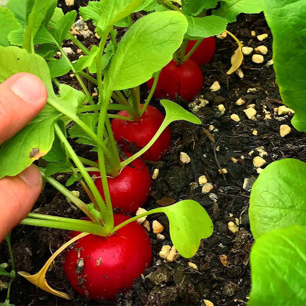 radishes from a raised garden bed