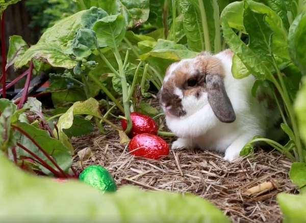 bunny in the vegepod