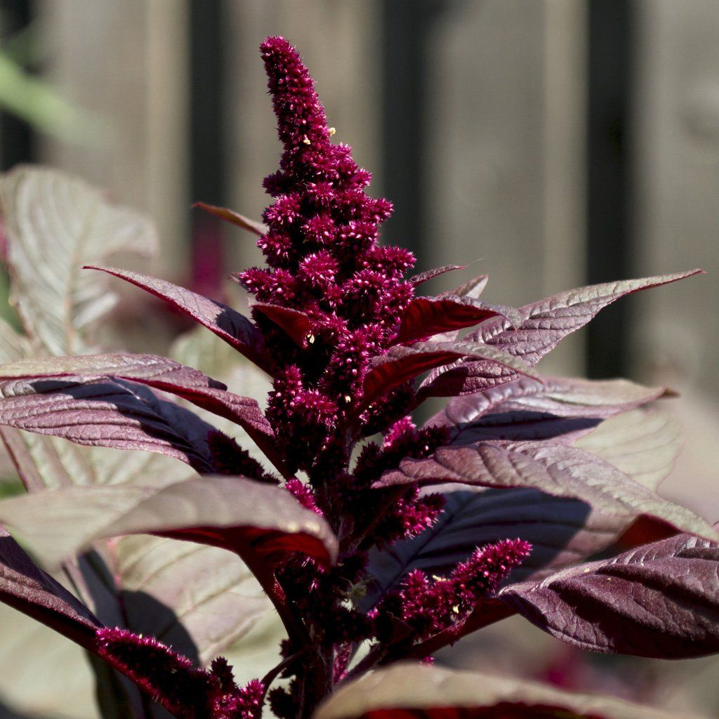 Red Hopi Amaranth Seeds - amaranthus cruentus