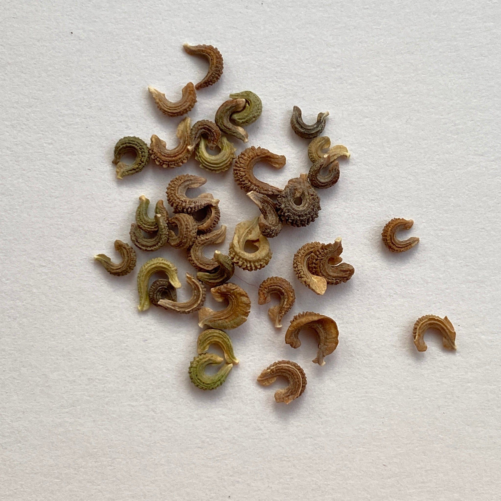 Calendula seeds - calendula officinalis