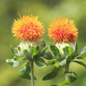 Safflower seeds - carthamus tinctoria