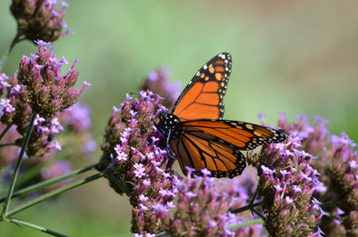 Western Monarchs Drop 86% Since Last year
