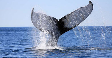 Japan Says It Will Resume Whaling