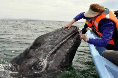 Divers Rescue Whale and She Rewards Them with Nudges and Gentle Pushs