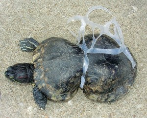 Plastics Kill Baby Sea Turtles