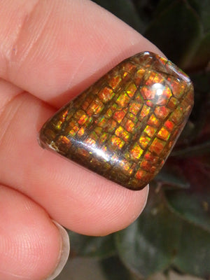 Multi Sparkle Alberta Ammolite Fossil Shell Cabochon Free Form (Ideal for Jewelry Making) 2 - Earth Family Crystals