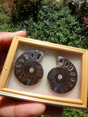 Fabulous Deep Druzy Cave Complete Ammonite Set in Collectors Box From Madagascar