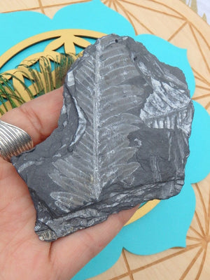 Ancient Fern Fossil Specimen - Earth Family Crystals