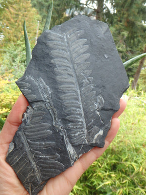 Xl Gorgeous Fern Fossil Display Specimen