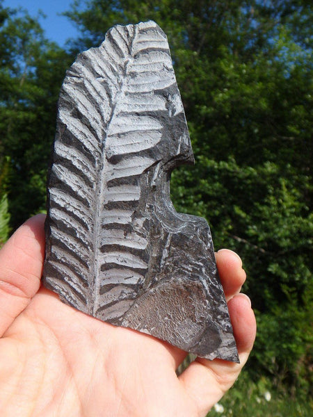 300 Million Year Old FERN FOSSIL From North Eastern Pennsylvania, USA* - Earth Family Crystals